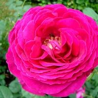 Róża ' Gospel '.  Makro.