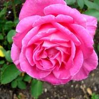 Róża ' Meibil ' .Nazwa handl. ' Pink Peace'.