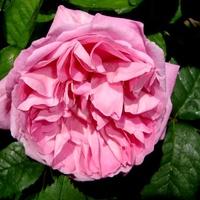 Róża ' Venrosa  '.  Makro.