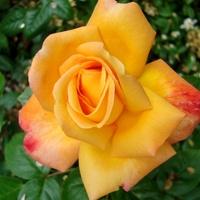 Róża bez nazwy.  Makro.