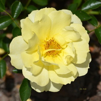 Róża jak słońce