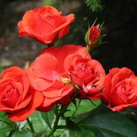 Róża mini zakwitła
