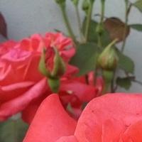 Róza moro.hihi.odbarwiony płatek wykształciła