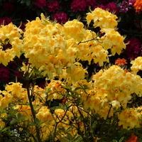 różanecznik, rododendron, azalia