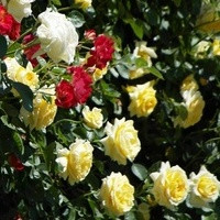 Róże... ...