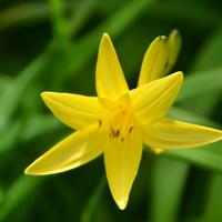 Rozkwitł pierszy liliowiec