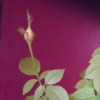 Różyczka mini