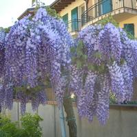 ..wisteria..