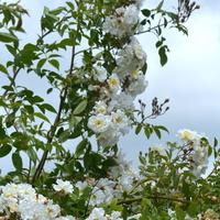 Wysoka biała róża