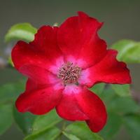 Zaczął się sezon różany