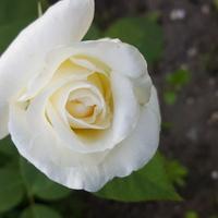 zakwitła moja róża