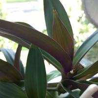Zielono - fioletowe liście ;)