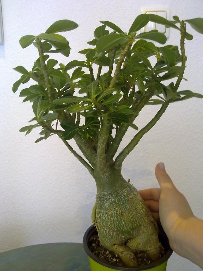 Adenium - Róża pustyni