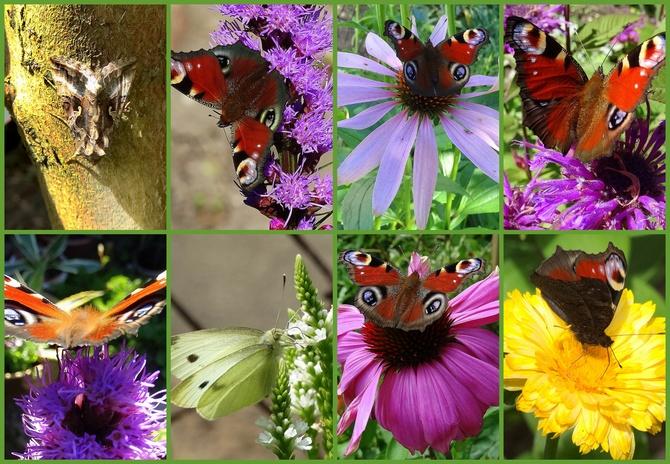 Dzisiaj roiło się od motylków:)