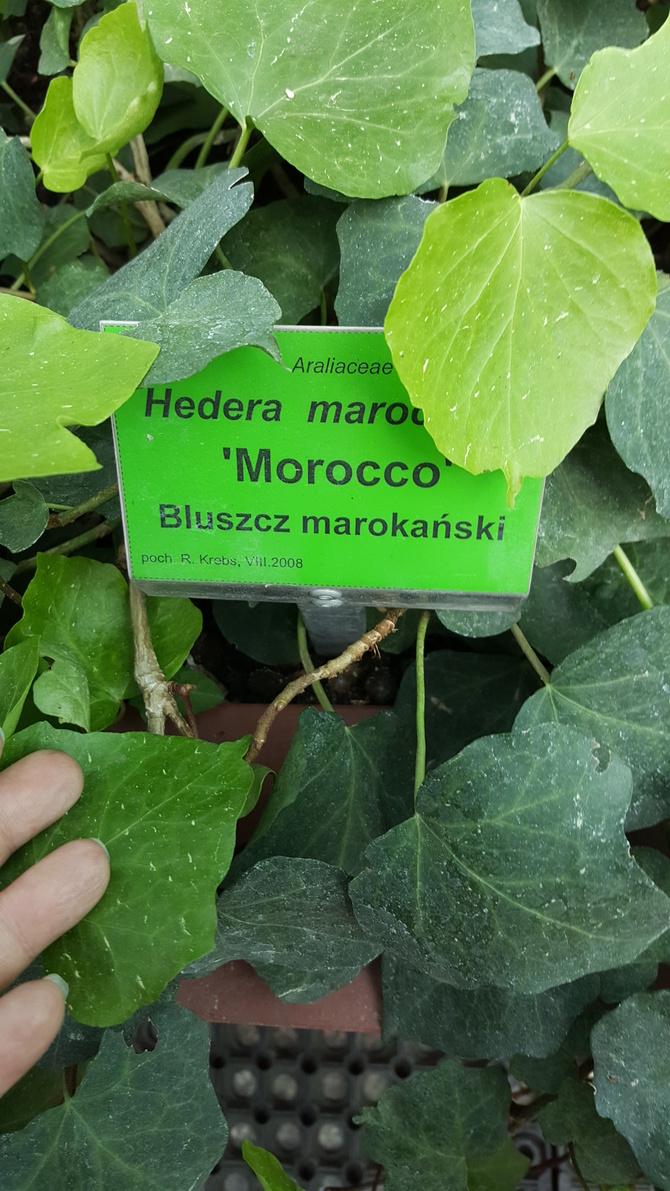 Hedera 'Morocco'