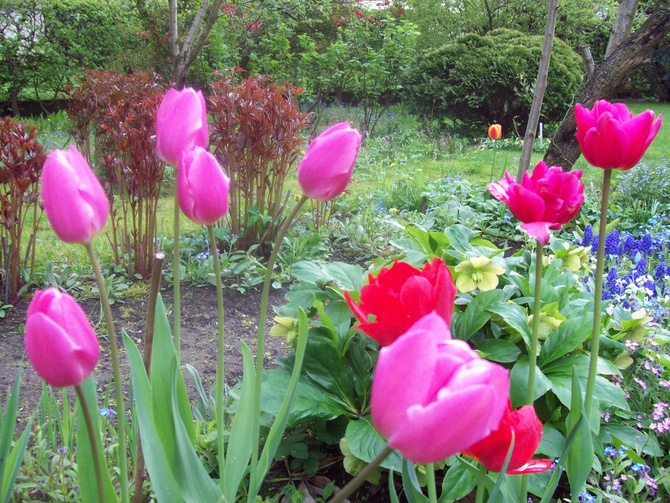 inne tulipany