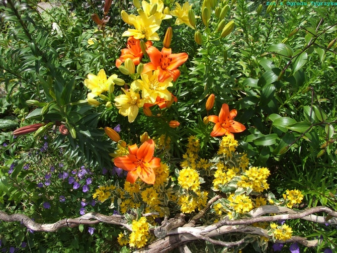 Kwiatowe lato u Tygrzyka