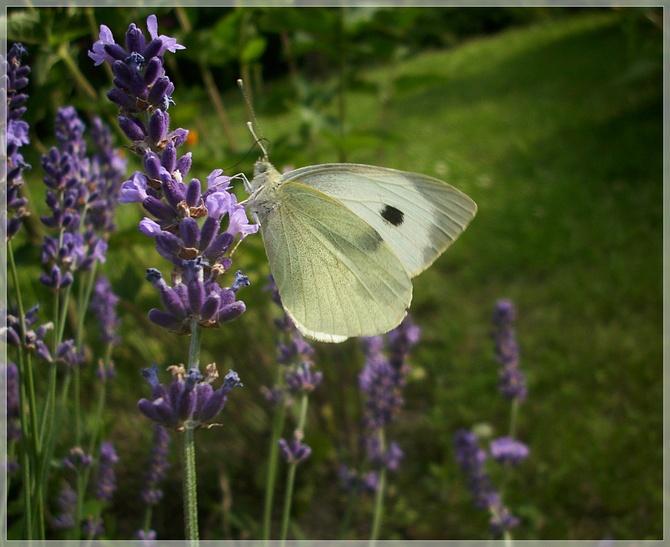 Motylki łapałam...