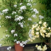 Biały ołownik i cytrynowy oleander