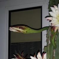 Cereus nocą