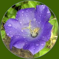 Deszczowy dzwonek
