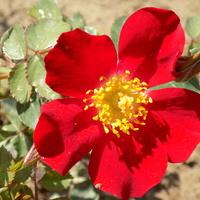 Dzieciątko róży Hanabi:)