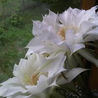 Echinopsis kaktus