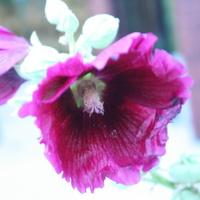 Fioletowa zakwitła  ;)