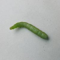 gąsieniczka na balkonie