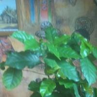 Kawa arabska (Coffea arabica)