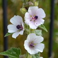 Kwiat drobniejszy od malwy
