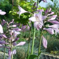 kwiat funkii