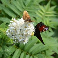 Kwiat miododajny i motyle.