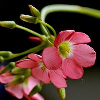 Kwiatki szczawika