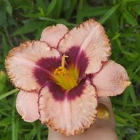 mój liliowiec
