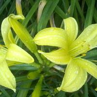 Moje ulubione liliowce