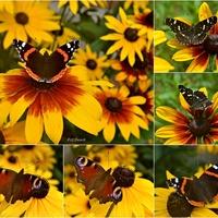 Motyle kochają rudbekie