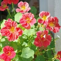Nasturcja większa Whirly Bird Cherry Rose