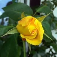 Pierwszy kwiat róży
