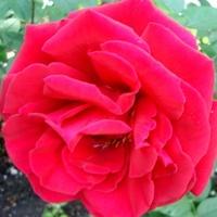 Róża ' Erotica '.  Makro.