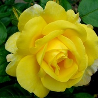 Róża ' Mr Lincoln '.  Makro.