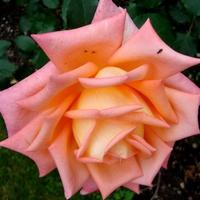Róża ' Poulvne '.  Makro.