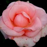 Róża ' Senteur Royale '.  Makro.