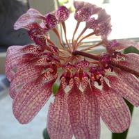 Storczyk Bulbophyllum