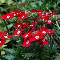 Werbena,roślinka jednoroczna