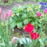 wiosna tulipanem stoi