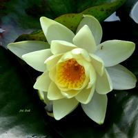 Żółta lilia wodna