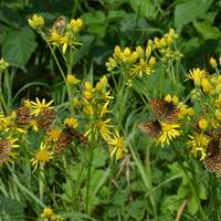 Żółte kwiaty - raj dla motyli.
