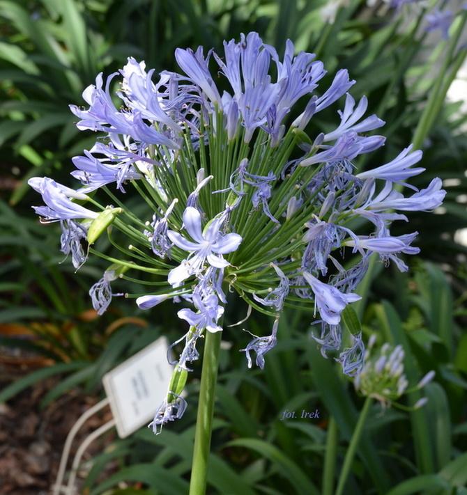 Agapanthus niebieski