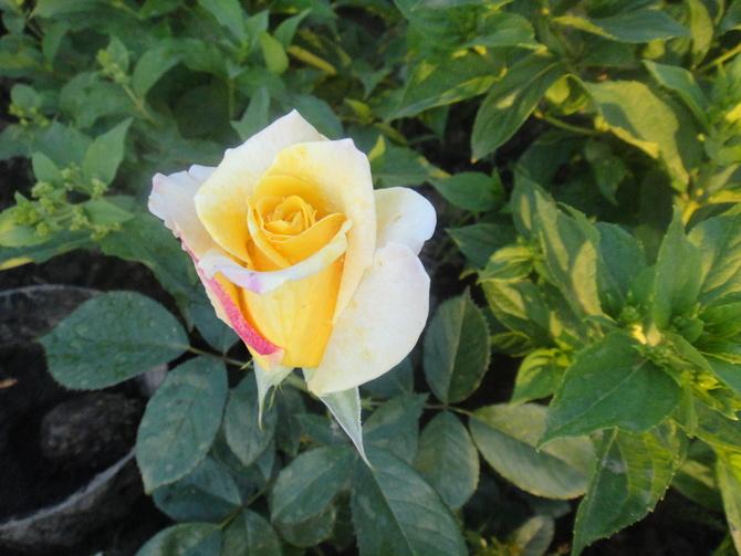 dzisiaj kilka róż